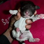 Havanese Poodle mix puppies for sale breeder