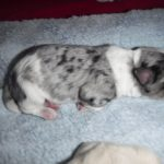 Poodle Havanese Yorkie mix puppies for sale breeder