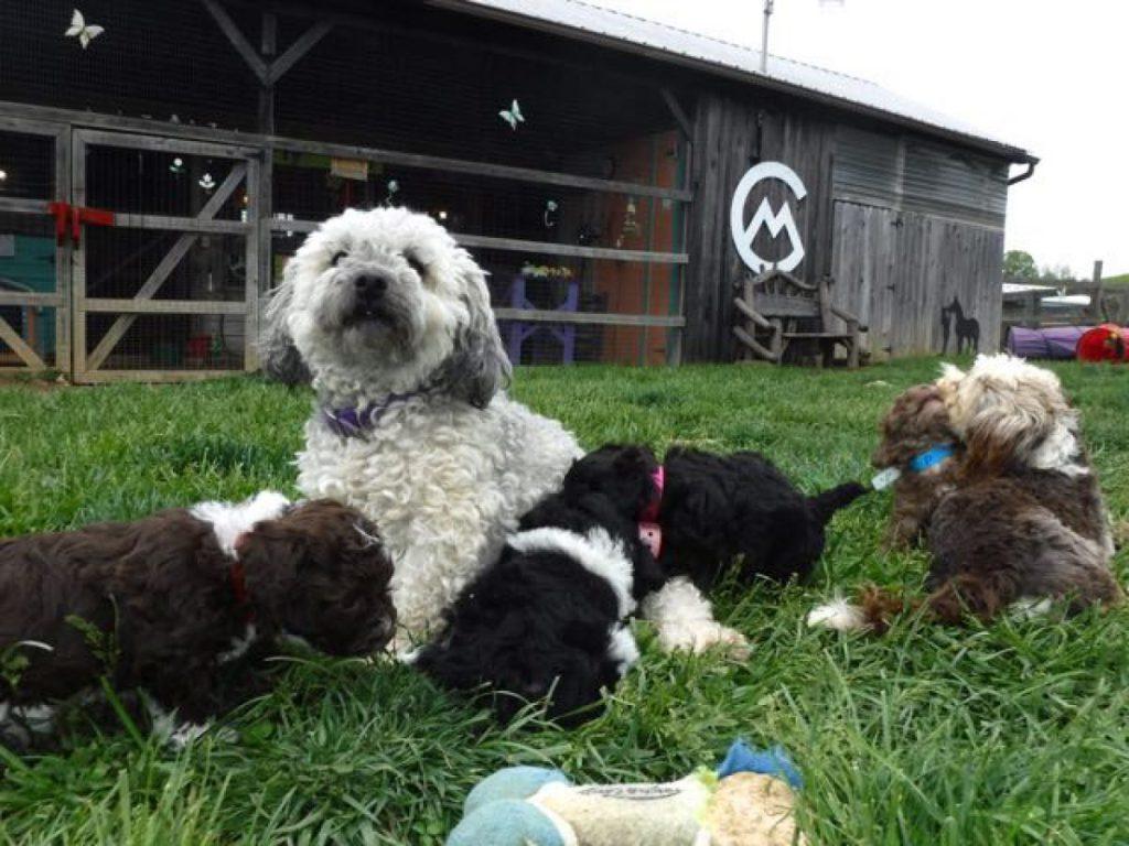 HavaPoo Puppy Breeder Kennel