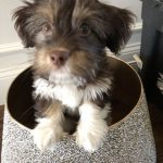 "Lhasa Apso / Havanese / Yorkie ""Sunshine"" Puppies for sale"