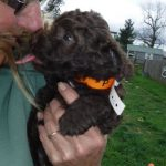 Mini Poodle mix puppy for sale