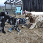 Riddle's HavaPooKie Puppies | Yorkie/Havanese/Poodle!