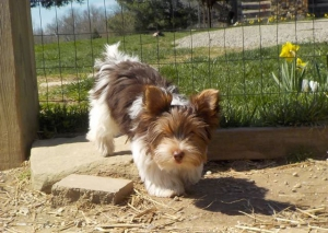 HavaPoo Havanese Yorkshire terrier mix breed