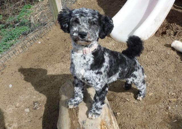 Riddle's HavaPooKie Puppies   Yorkie/Havanese/Poodle!