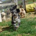 Riddle's HavaPooKie Puppies | Yorkie/Havanese/Poodle!