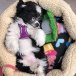 Mini Havanese Poodle mix puppy for sale
