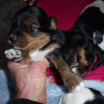 Breeder YorkiPoo Puppies for sale