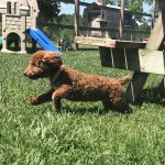 Mini Poodle Yorkshire terrier YorkiPoo Breeder