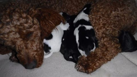 Available Tri-Color YorkiPoo Puppies!!!