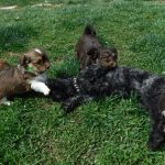 YorkPoo Puppies for sale Yorkie Poodle mixbreed