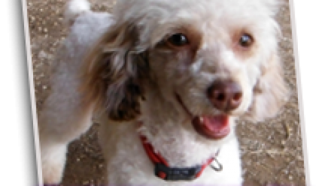 "Toy Poodle ""Dixie"" is Retiring!"
