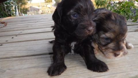 Available YorkiPoo Puppy- Congrats to Dana from CO!