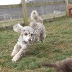 HavaPoo Mini Poodle Havanese puppies for sale