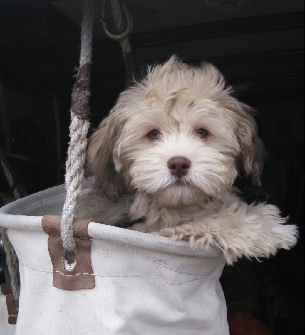Havapoo Puppies Sunny Day