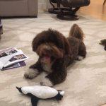 Breeder HavaPoo Puppies for sale HavaNoodle