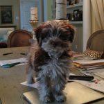 HavaPoo Puppies for sale HavaNoodle