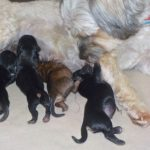 HavaPoo & YorkiPoo Puppies for sale