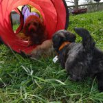 Mini Poodle Yorkshire Terrier Puppies for sale Ohio Breeder