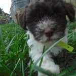 Poodle Yorkie Havanese Breeder Ohio Puppies for Sale
