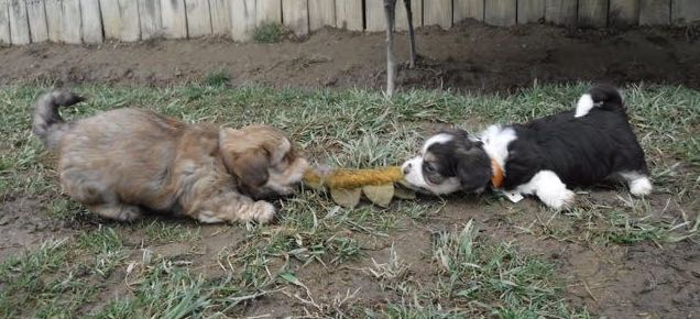 Lhasa Apso Havanese Yorkshire Terrier Pupppies for sale Breeder Ohio