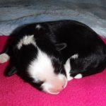 Newborn Havanese Lhasa Apso Puppies