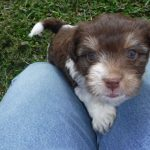 Havanese Poodle Yorkie puppy for sale