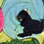 Moyen Mini black merle Poodle Nickers -puppy breeder