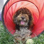 Moyen Klien Poodle - HavaPoo puppies