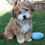 Havanese Mini Poodle mix puppy breeder