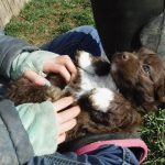 Available Male Sunshine Puppy