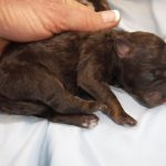 breeder of havapoo puppies for sale (Havanese Poodle mix)