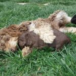 Creamy Chocolate / Tan Toy Poodle Minute YorkiPoo Puppy breeder