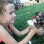 Havashire Havanese Yorkshire Terrier puppy breeder