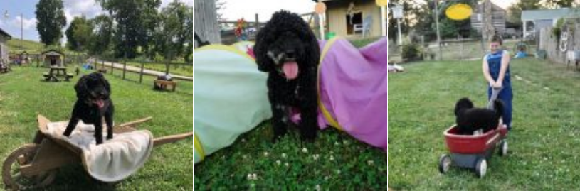 breeder of havapoo puppies for sale (Havanese Poodle mix)