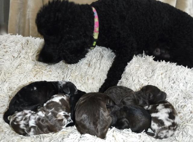 HavaPoo Puppy Breeder Puppies for sale Havanese Poodle mix
