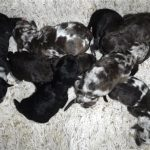 Small Family Friendly, Non-Shedding & Hypo-Allergenic HavaPoo Puppies!!