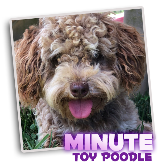 Toy Poodle Minute Sunny Day Puppies