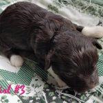 Havashire Havanese Yorkshire terrier mix-breed puppies for Sale BreederHavashire Havanese Yorkshire terrier mix-breed puppies for Sale Breeder