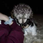 Chocolate/Tan Parti Female YorkiPoo Puppy