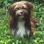 Havanese Yorkshire Terrier mix breeder Havashire