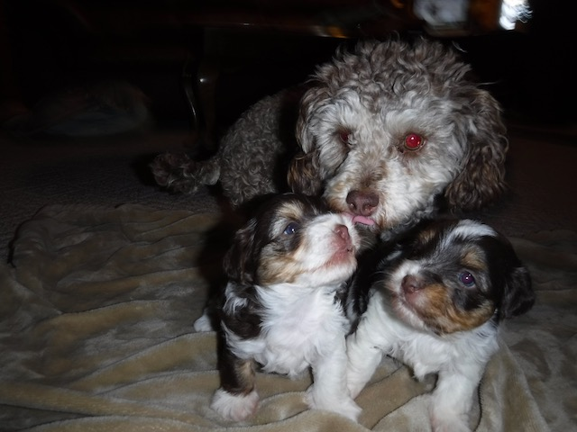YorkiePoo Breeder puppies for sale Yorkie Poodle mix