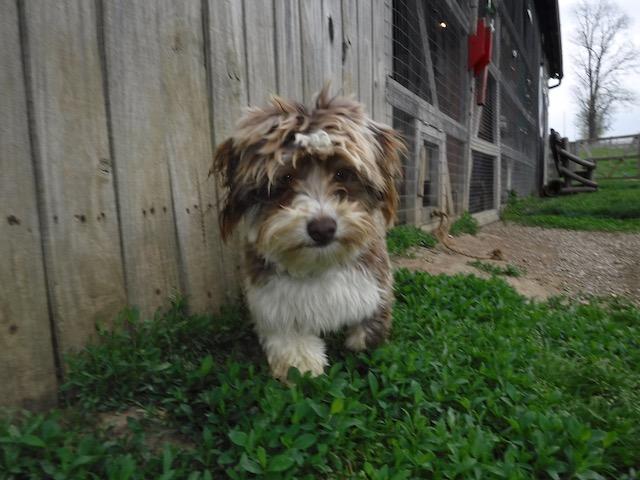 Havanese puppies for sale breeder